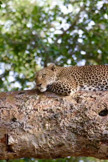 "The leopard has a black ""U"" around a brown spot"
