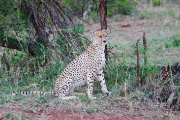 The cheetah has black dots as its spots